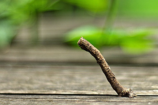 stick caterpillar