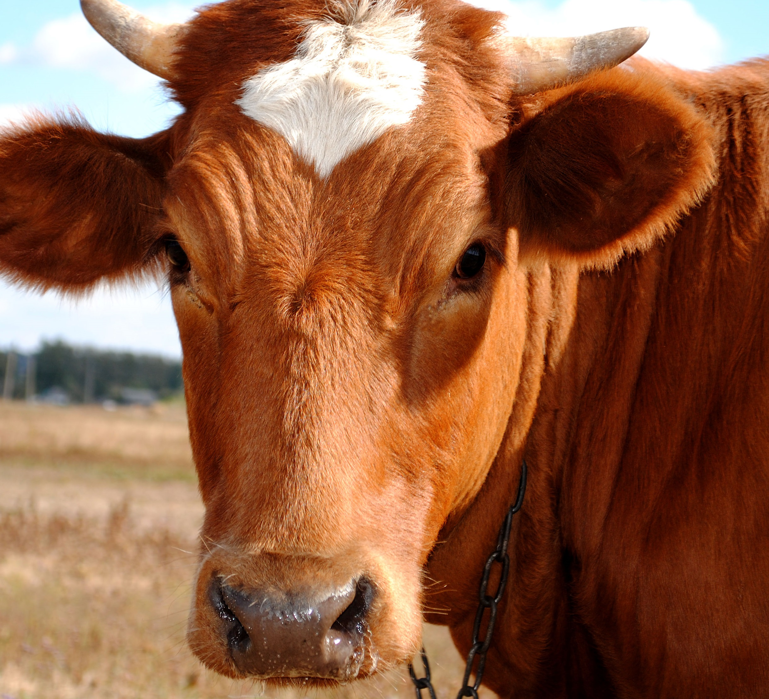 on animal liberation and falling off the edge of the world part cow