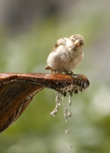 Sparrow in a fountain